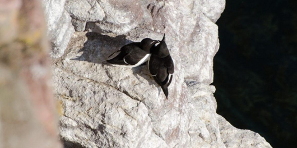 Pingouin torda – Alca torda