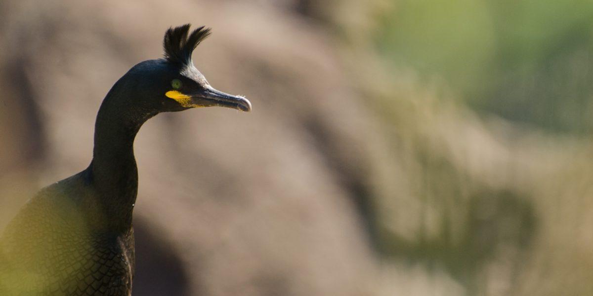 Cormoran huppé – Phalacrocorax aristotelis