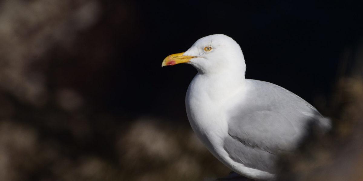 Goéland argenté – Larus argentatus