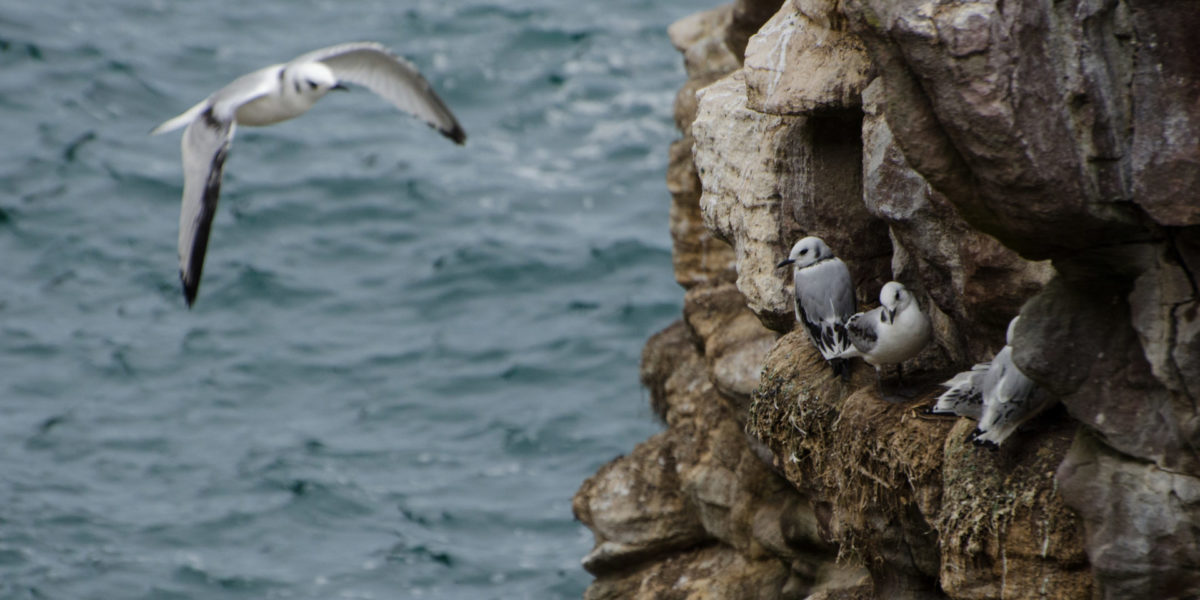 Mouette tridactyle – Rissa tridactyla