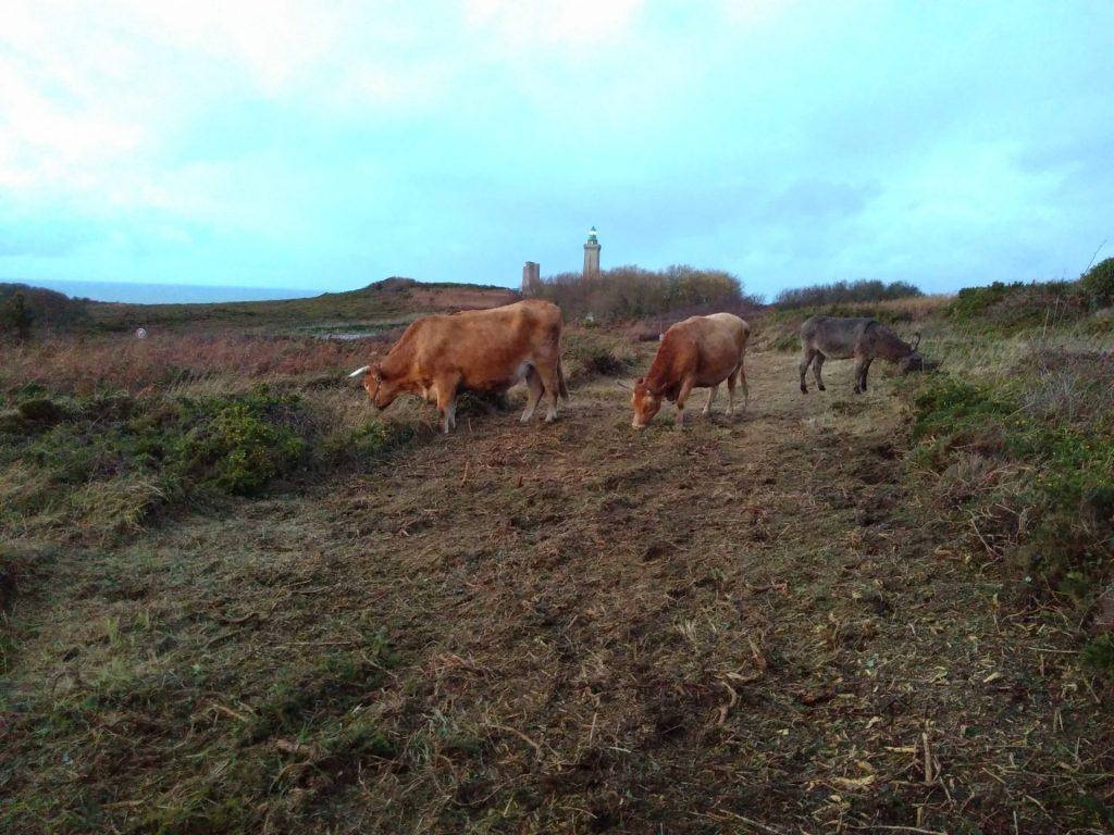 Les animaux de la ferme de retour sur les landes du Cap Fréhel!
